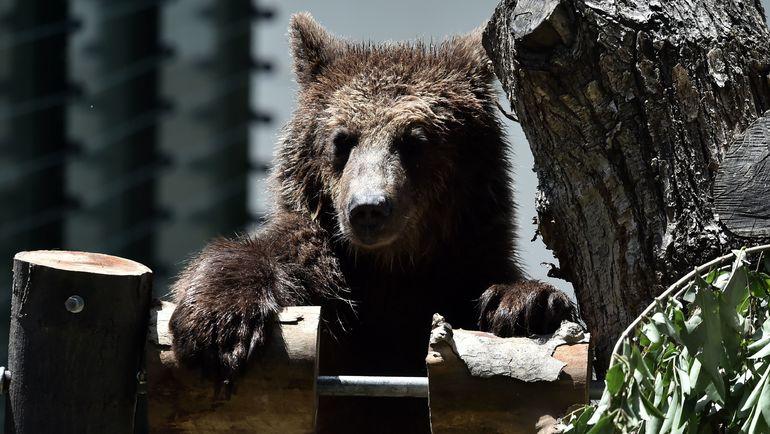 Медведи бывают разные. Фото AFP