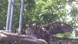 Орла в Московском зоопарке назвали в честь Игоря Акинфеева
