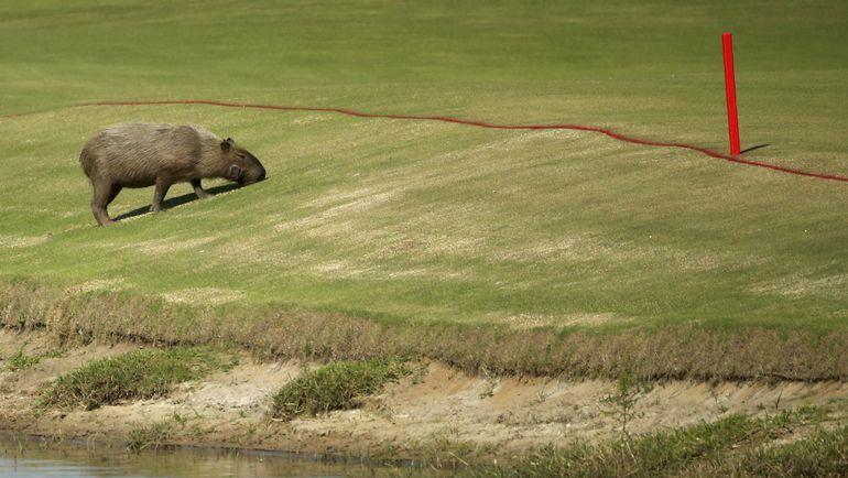 Сегодня. Рио-де-Жанейро. Капиабара не упускает возможности посмотреть на гольфисток. Фото AFP