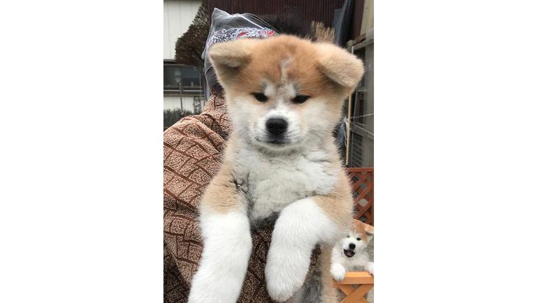 В Японии показали щенка акита-ину, которого подарят Алине Загитовой. Фото Олимпийский комитет России
