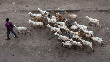 Турецкий клуб продал футболистов, чтобы купить десять коз