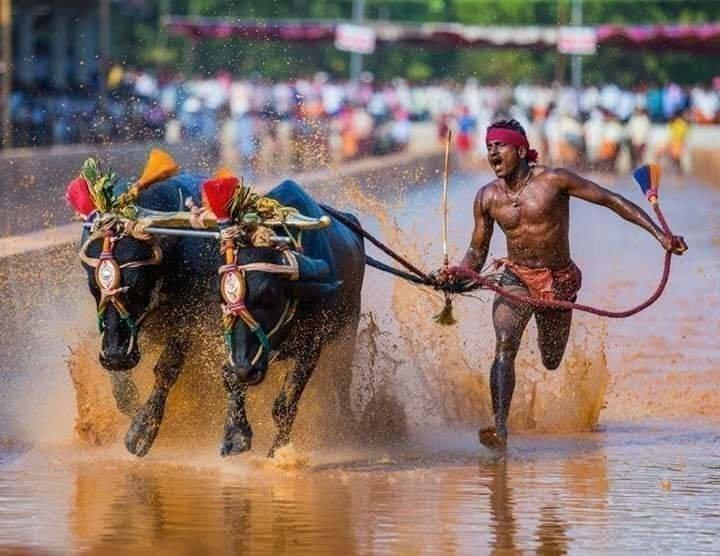 Забег сбуйволами порисовому полю. Фото The Indian Express