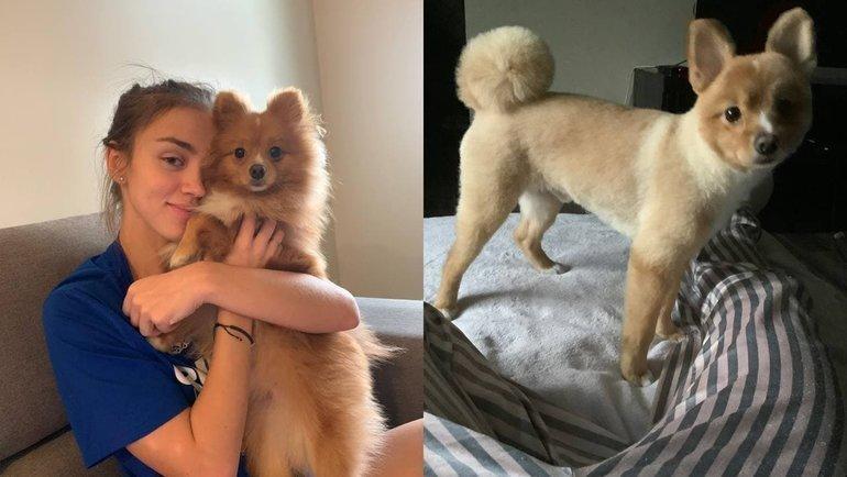 Фотографии собаки Волковой доипосле стрижки. Фото Telegram-канал Вероники Волковой.