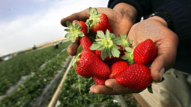 ВРоссии начался сезон клубники. Фото Abid Katib, Getty Images