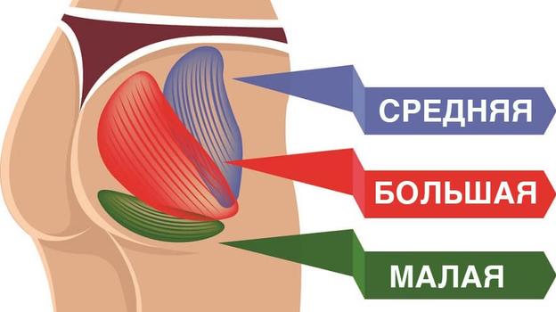 Ягодичные мышцы. Фото Biology Dictionary