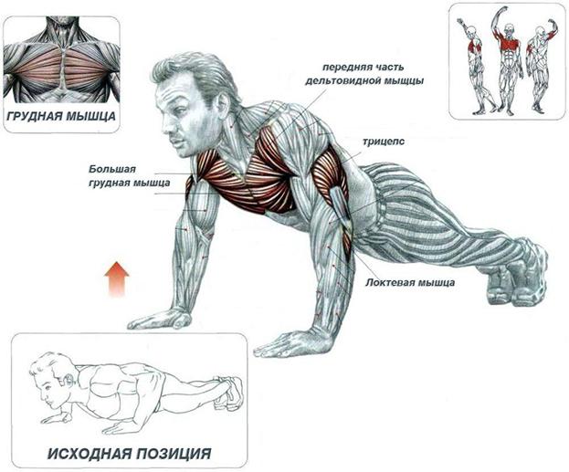 Мышцы, работающие вовремя классических отжиманий. Фото Thehealthsciencejournal