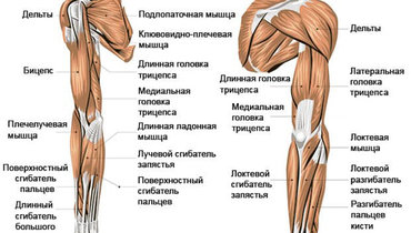 Мышцы руки. Фото CrossExpert
