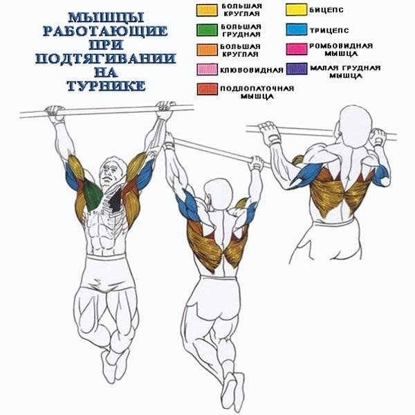 Группы мышц, работающие вовремя подтягиваний. Фото Sunmag