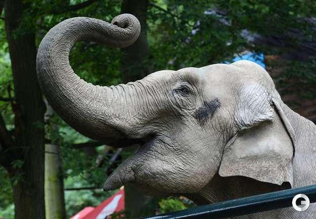 Слониха Читта.