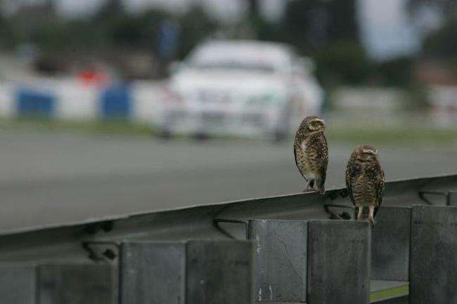 """На недостаток внимания пилотам в Куритибе жаловаться не приходится. Гонки тут смотрят всем миром. Включая и животный. Фото - IRC. Фото """"СЭ"""""""