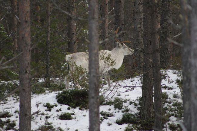 Понедельник. Бруксвалларна. В северной шведской провинции, где сейчас тренируется сборная России, нет проблем ни со снегом, ни с оленями. Фото СБР. Фото «СЭ»