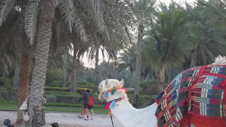 "Верблюд на пляже Emirates Palace. Фото ""СЭ"""