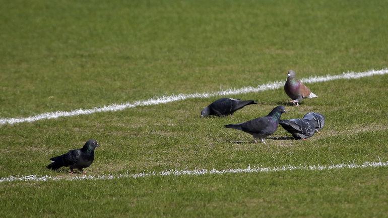 "Голуби на поле ""Олимпа-2"" во время тренировки ""МЮ"". Фото Reuters"
